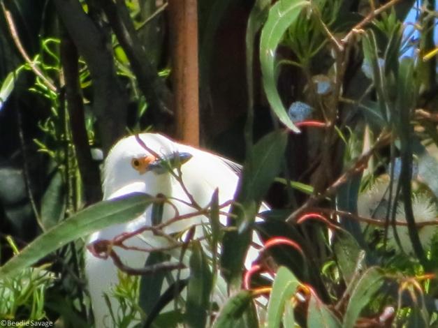 Egret Hiding in Tree