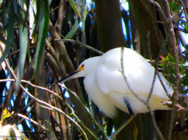 Egrets in Tree