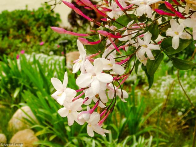 Garden Jasmine
