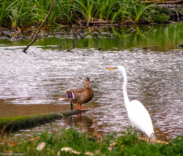 Great Egret and Duck