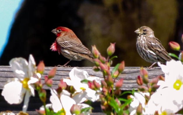 Male (left) Female (Right) House Finches