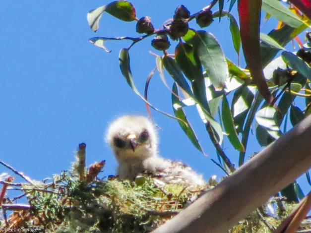Baby Red Shoulder Hawk - Hey, what are you pointing at me?