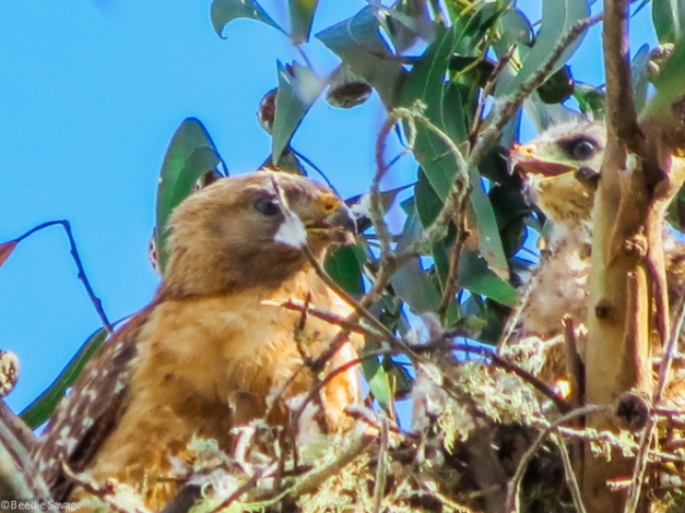 Baby Red Shouldered Hawk - Feeding Time
