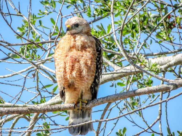 red-shouldered hawk female