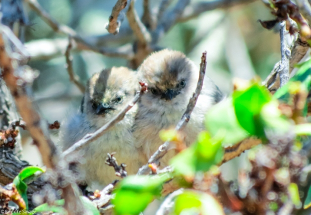 The Bushtit Family