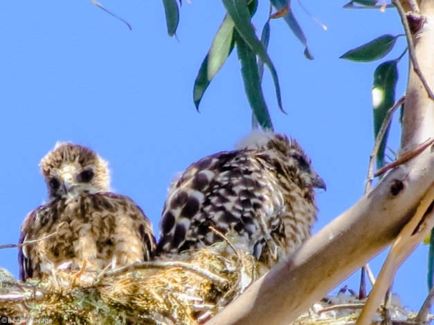Baby Red-Shouldered Hawks - Bigger