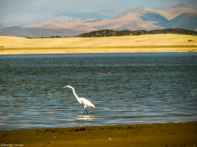 Great Egret Hunting alone on the Back Bay