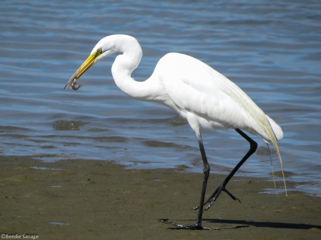 Great Egret with fresh catch of the day