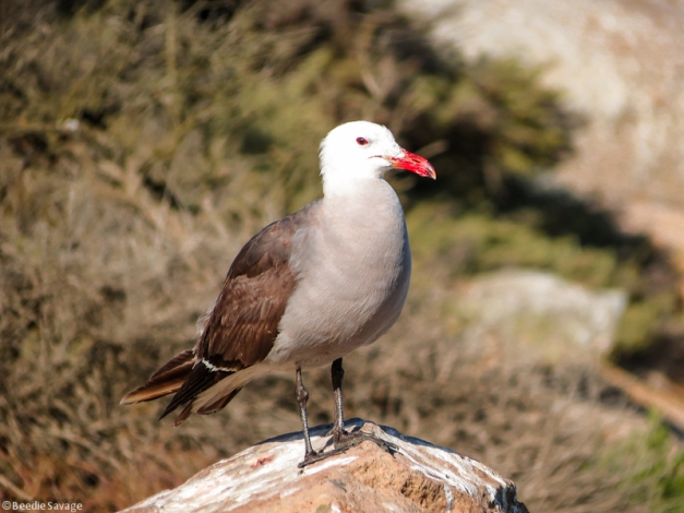 Heermann's Gull (click to enlarge)