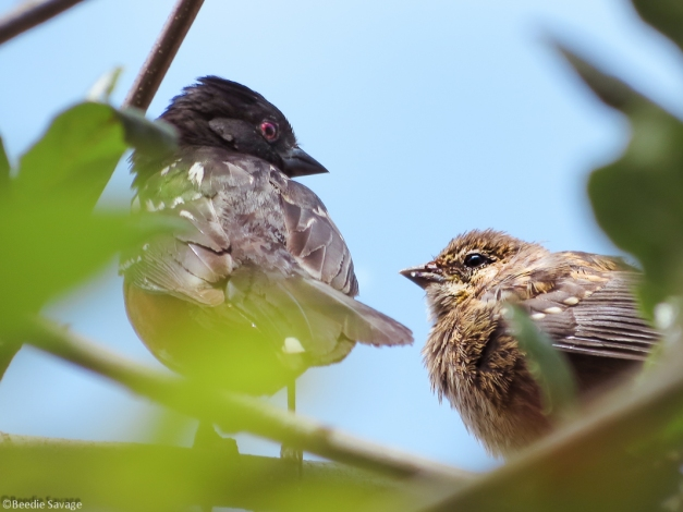 Mother Spotted Towhee (left) and Juvenile Towhee having a moment