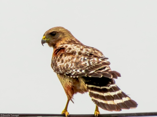 Male Red-Shouldered Hawk