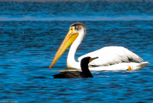 Pelican and Double-Crested Cormorant sharing the food source