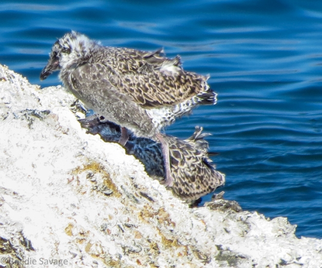 Baby Gulls Nesting on Rock
