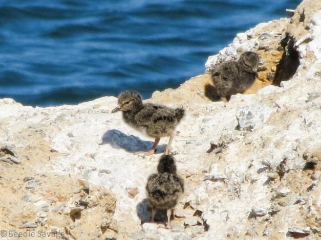 Black Oystercatcher and chicks