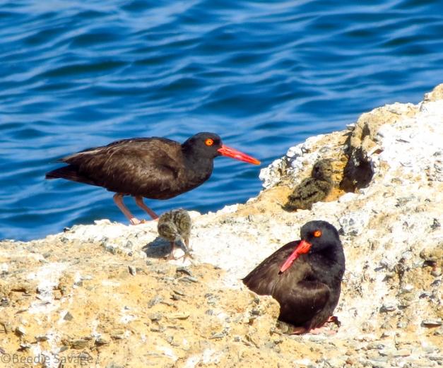 Black Oystercatcher family