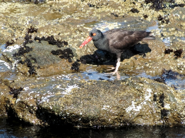 Black Oystercatcher hunting