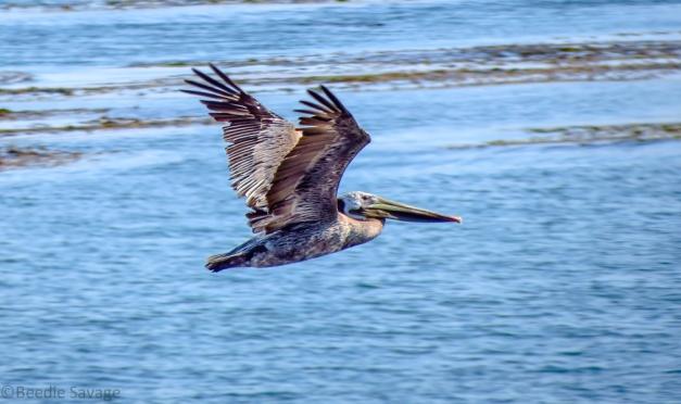 Brown Pelican in flight (click to enlarge)
