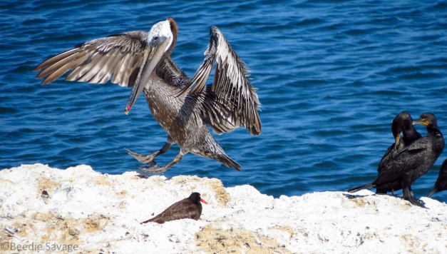 Brown Pelican joins Cormorants and Black Oystercatchers