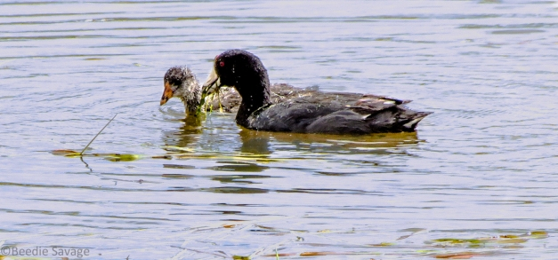 Female American Coot feeding Juvenile