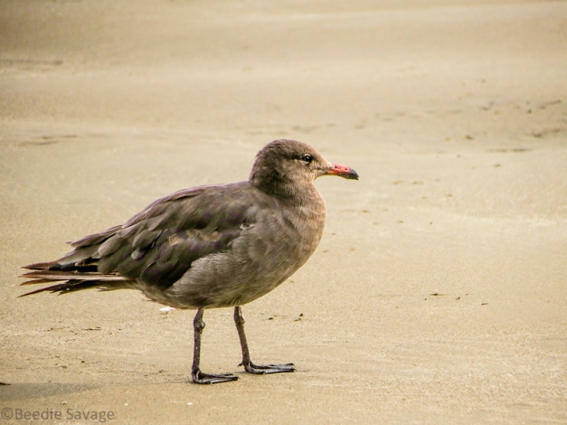 Heermann's Gull 2nd Cycle