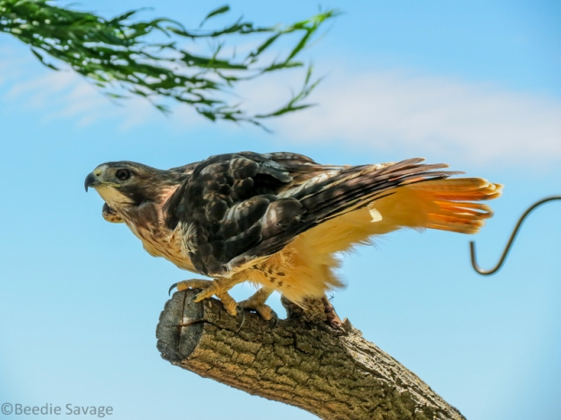 Sunshine - The Red-Tail Hawk