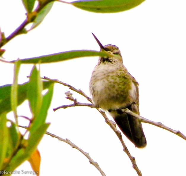Female Anna's Hummingbird (sleeping on the job)