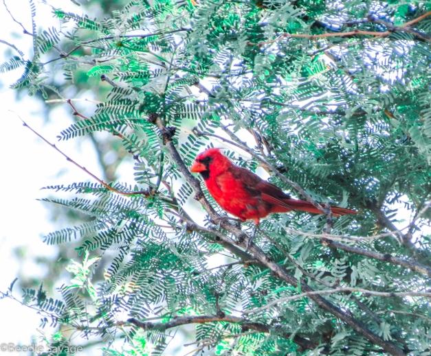 Northern Cardinal Southwest