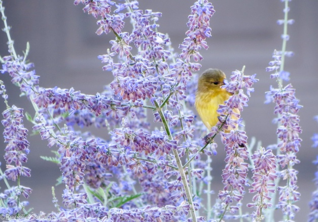 Yellow Warbler Stuck in Purple Sage