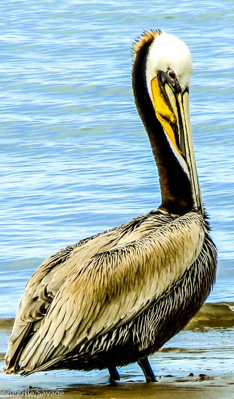 Brown Pelican Adult Breeding Plumage