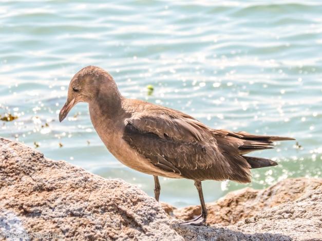 Immature Heerman's Gull