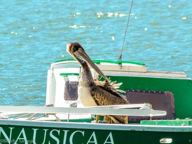 Immature Brown Pelican Preening