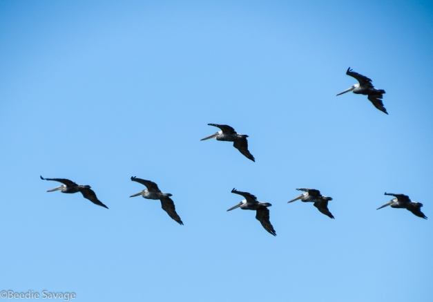 V-flying formation typical for Brown Pelicans
