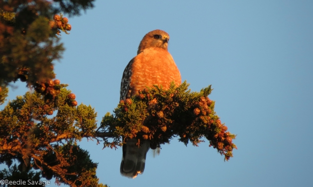 Lucy - the Red-shouldered Hawk