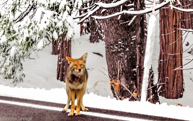 Hungry Yosemite National Park Coyote