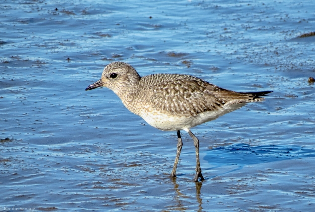 Black-bellied Plover in Winter Plumage-