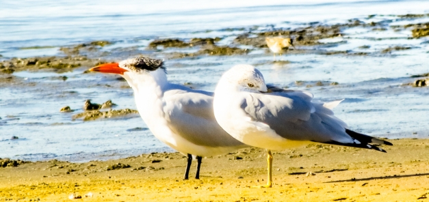 Caspian Tern and Ring-billed Gull