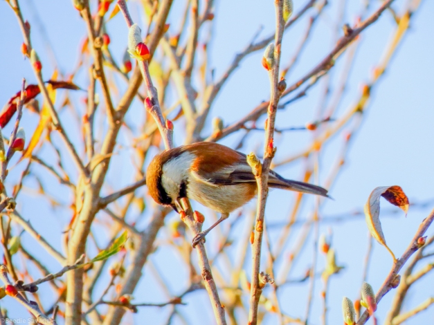 Chestnut-backed Chickadee-