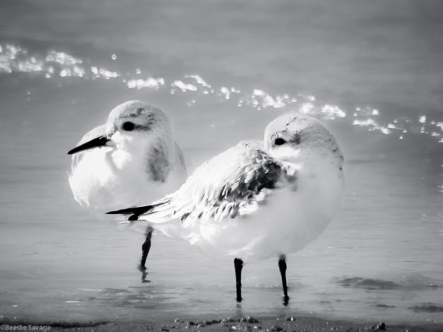 Sanderlings-