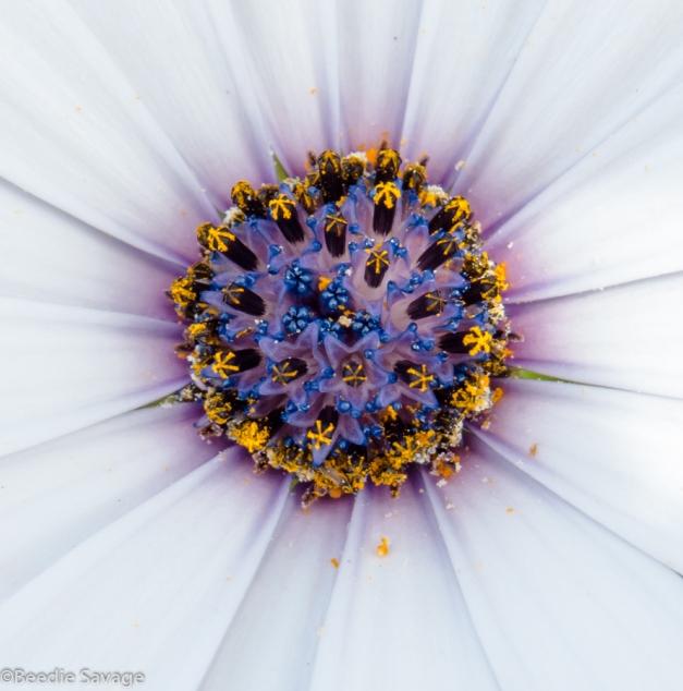 Macro Center of Wildflower