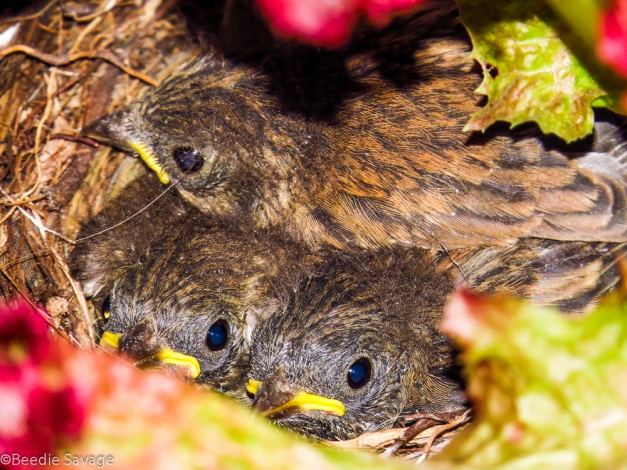 Baby Dark-eyed Juncos
