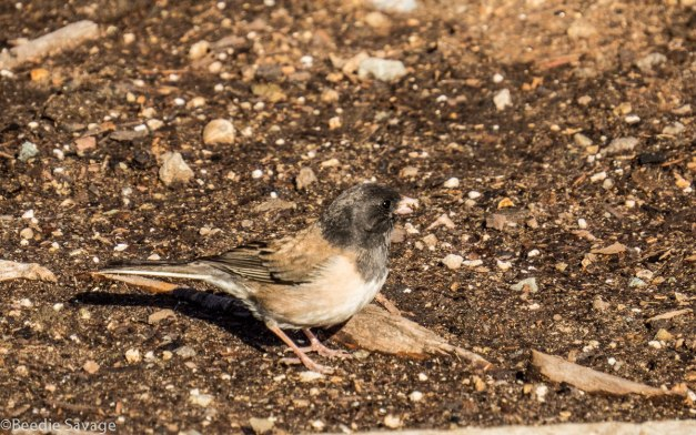 Mr. Mom Dark-eyed Junco