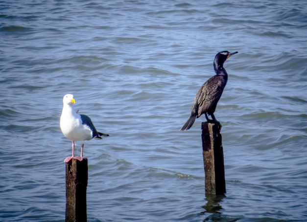 Western Gull and Double-crested Cormorant