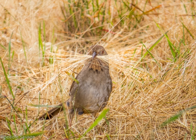 California Towhee nest building