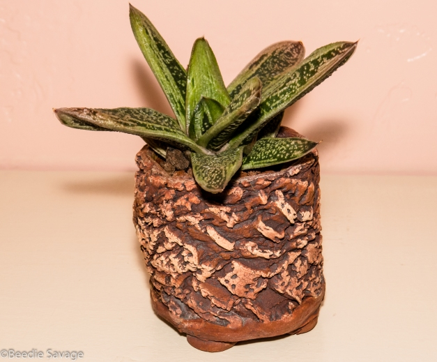 Gasteria - Little Warty