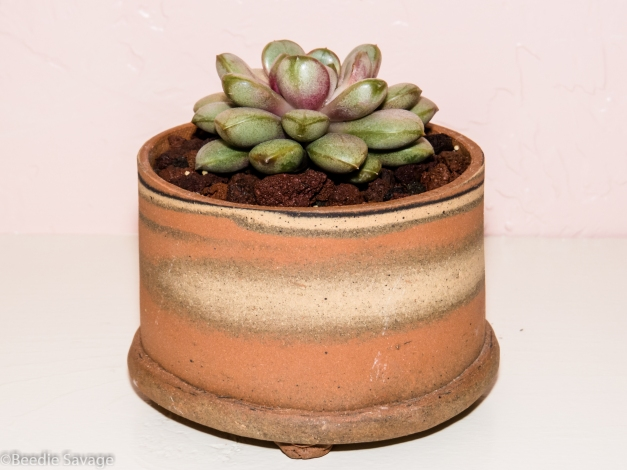 Graptoveria Ameythorum