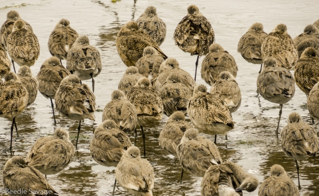 Willets - Shorebird Photography