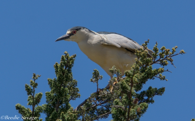 Adult Black-Crowned Heron  watching over it's young