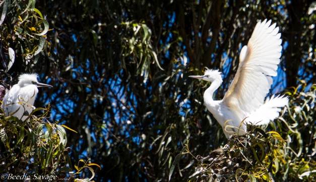 """Young Snowy Egrets trying out their wings """"Hey Dude, I think it goes something like this!"""""""