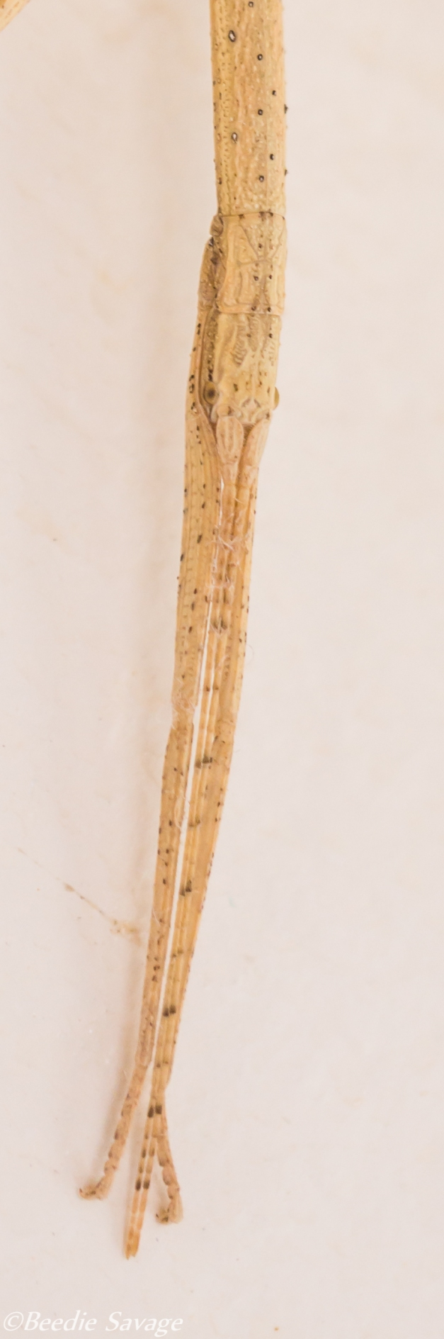 Head of a Stick Bug - Phasmatodea