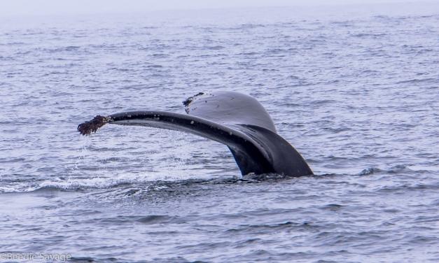 Humpback Whale, Morro Bay, CA